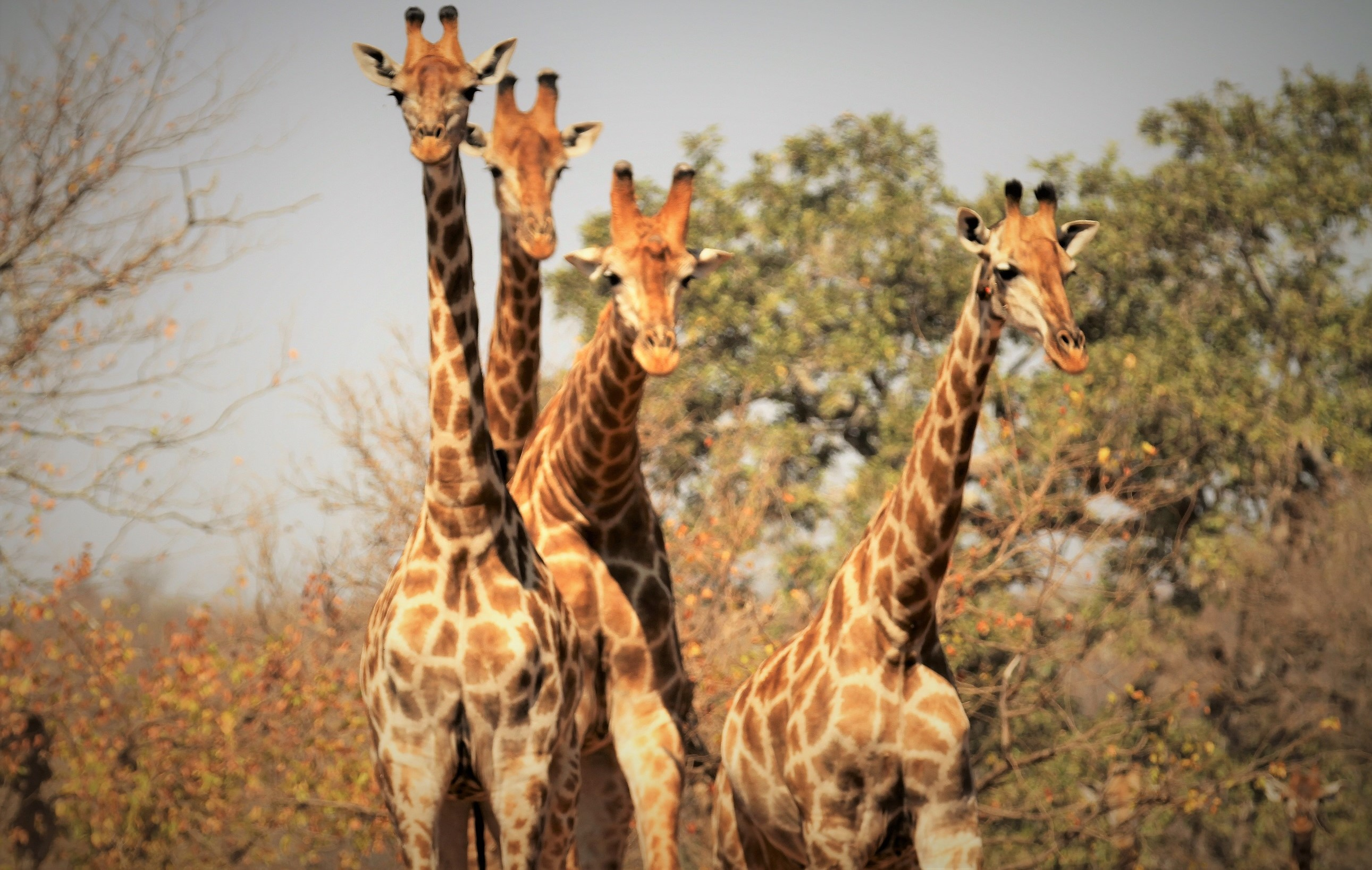 The giraffe and its long neck