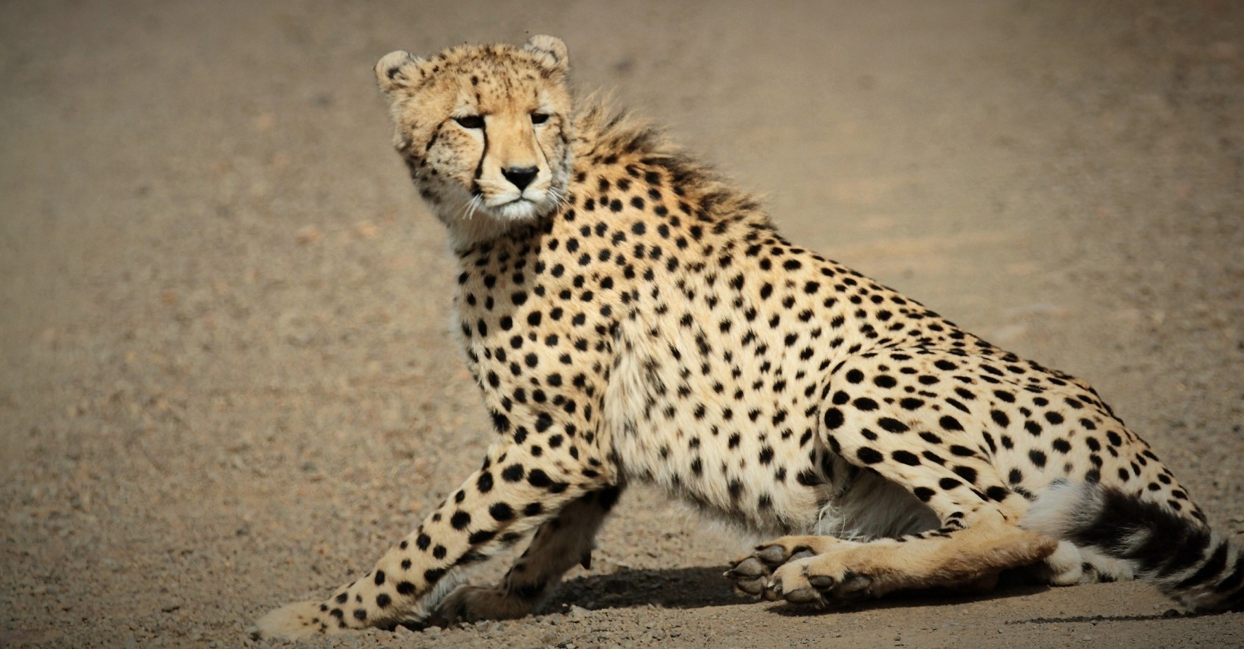 Why does the cheetah has built-in sunglasses?